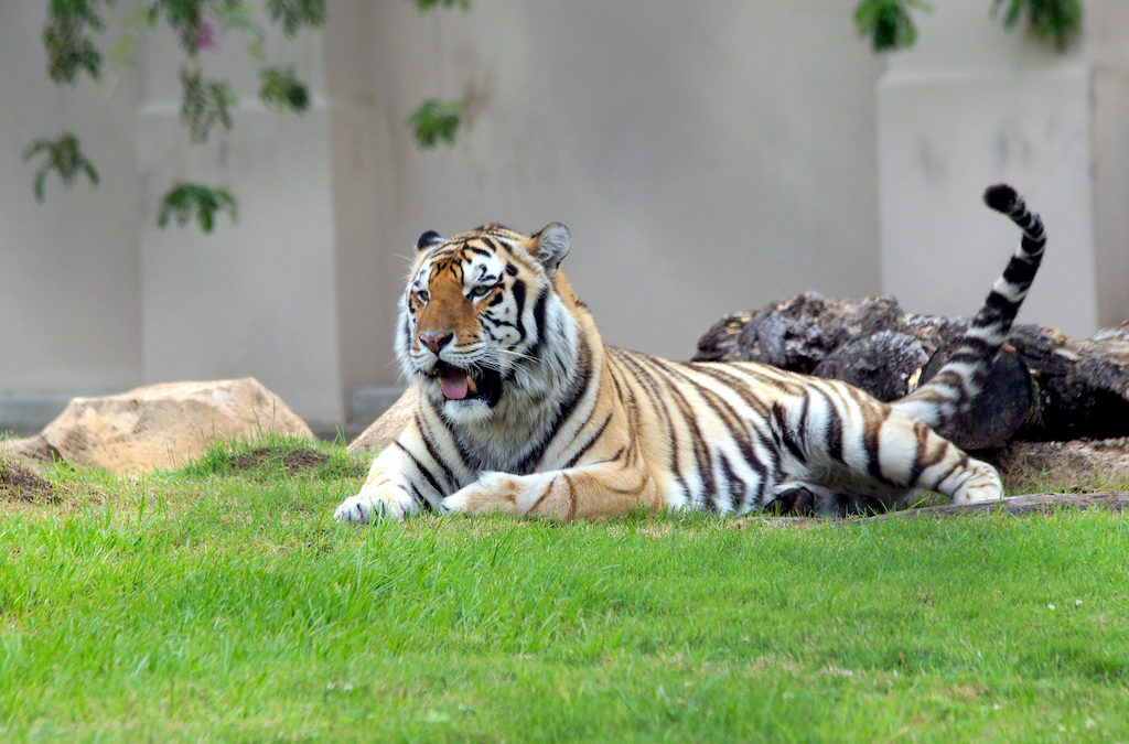Mike The Tiger Laying in Grass